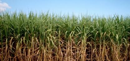 STF julga válida tributação diferenciada para produção de açúcar no Norte e Nordeste