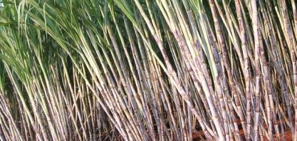 Instituto Agronômico completa 130 anos e lança duas variedades de cana com alto desempenho