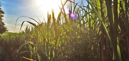 Viralcool encerra a safra com produção recorde de açúcar