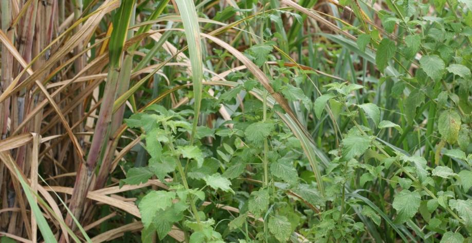 As sementes de plantas daninhas acordaram
