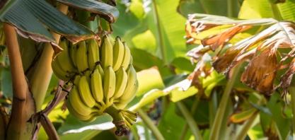 Estudantes de Barreiras desenvolvem etanol de banana e apresentam inovação em mostra científica no Pará