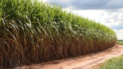 A adoção de variedades de cana antigas é barreira para a obtenção de canaviais com alto desempenho