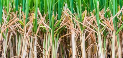 MPB revoluciona plantio e reintroduz sistemas como a Meiosi e Cantosi
