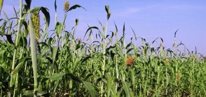 Sorgo africano pode ser avanço para biocombustíveis