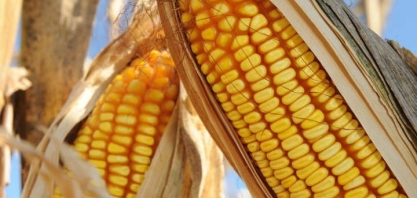 Mato Grosso investe pesado na produção de etanol de milho