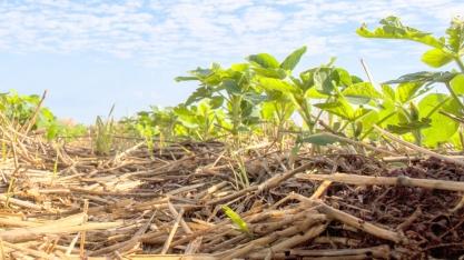 Soja e amendoim não precisam competir por áreas de renovação de cana