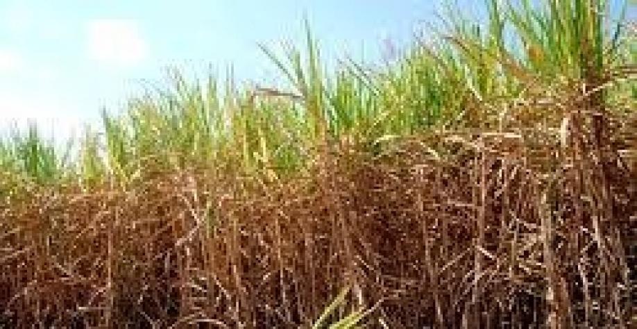 Chuva irregular leva preocupação à safra 2019/20 de cana-de-açúcar do Brasil