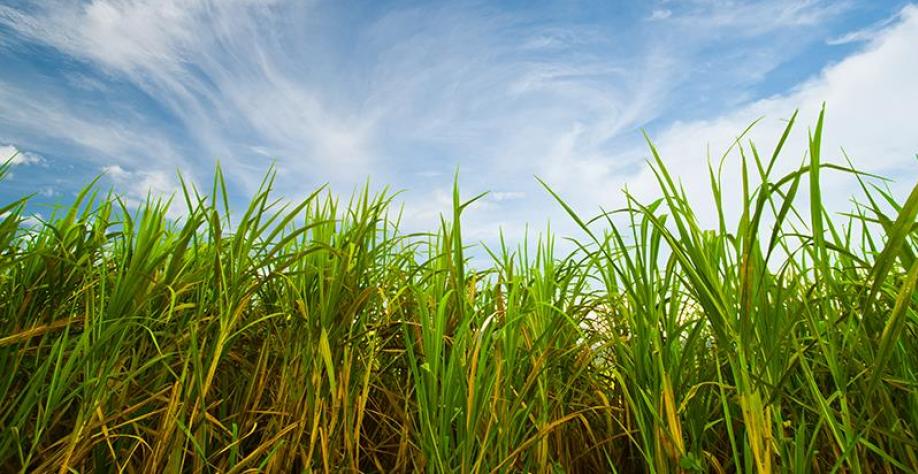 Feplana e Unida rejeitam cobrança por mais tempo de cultivares de cana já em uso