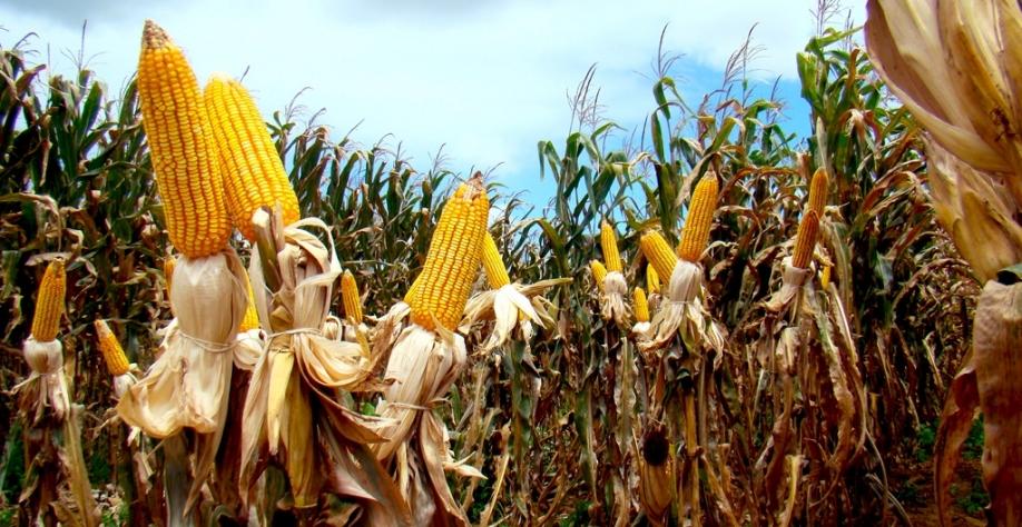 Produção de etanol de milho deve atingir 1,4 bi de litros em 2019, diz Unem