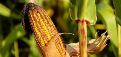 Nova Mutum terá indústria sustentável de etanol de milho