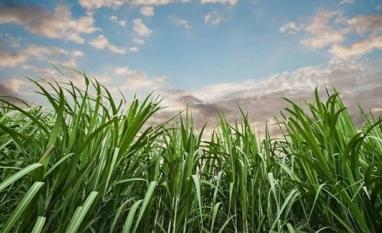LMC prevê déficit de 3 mi t de açúcar na safra global 2019/20