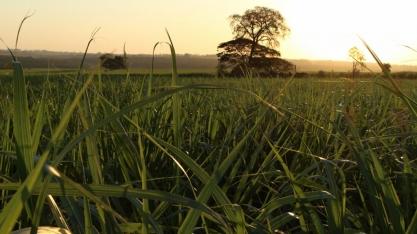 Indústrias sucroenergéticas de MS aumentam produção de etanol em 24,5%