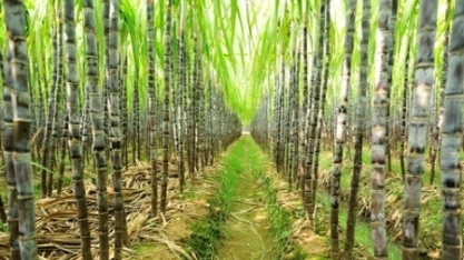 Florescimento da cana-de-açúcar pode ser problema para safra 2019/20