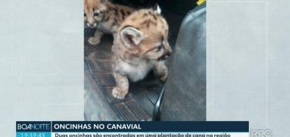 Duas oncinhas são encontradas em uma plantação de cana no Paraná