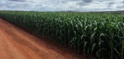 Indústria de etanol de milho do brasil avança com produção do cereal próxima a 100 mi t