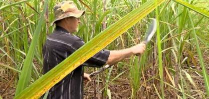 Famílias de produtores de Viana investem no cultivo da cana, ES