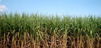 Produção de açúcar do centro-sul ganha ritmo após início lento; moagem dispara em maio