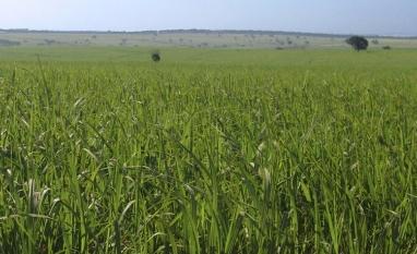 Variedades de cana RB ocupam sete milhões de hectares no Brasil