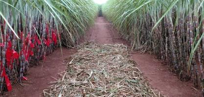 CTC já desenvolve novas gerações de cana-de-açúcar transgênica