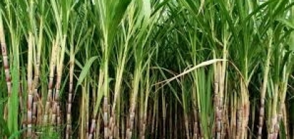 36° Simpósio da Agroindústria da Cana-de-açúcar de Alagoa