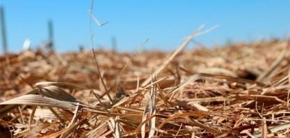 Remoção da palha da cana-de-açúcar pode aumentar necessidade de fertilizante