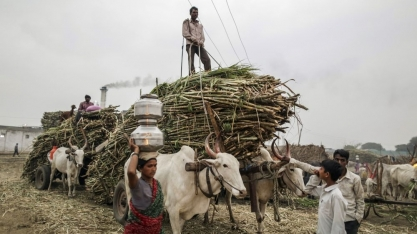 Índia deverá aprovar novo apoio ao açúcar