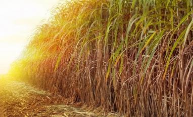 Produção de cana de açucar 2019/20 terá acréscimo de 0,3%