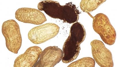 Curso da Embrapa vai ajudar na identificação do fungo que causa o carvão do amendoim