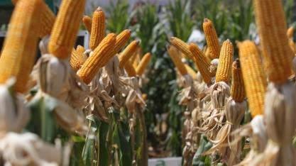 Cereais têm potencial para produção de etanol