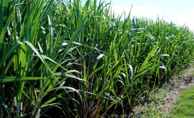 Cientistas desenvolvem proteína contra doença da cana-de-açúcar