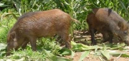 Javaporcos não dão trégua a agricultores e número de animais continua sem controle