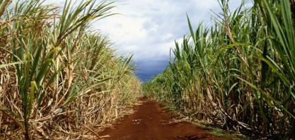 Proteína orgânica pode aumentar em quase 20% produtividade da cana