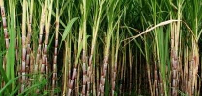 Tecnologia amplia produção de cana