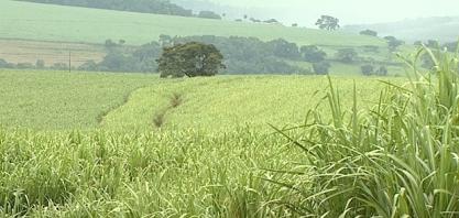 Produtores rurais apostam na silagem da cana para alimentar o gado