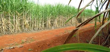 Cana-de-açúcar do Brasil será rastreada com Blockchain por meio de parceria com a Embrapa