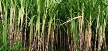 RIO DE JANEIRO – Técnicos vão a campo reunir dados sobre safras de café e cana-de-açúcar