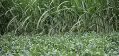 Produtores de São Paulo trocam produção de cana-de-açúcar por soja