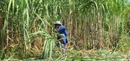 Empresas da Tailândia querem adiar proibição de pesticidas