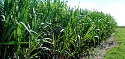 Pesquisa auxilia a Paraíba com as culturas do abacaxi, cana-de-açúcar, milho e sorgo