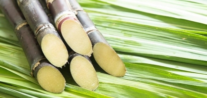 Sindaçúcar-AL: produção de açúcar chega a 800 mil toneladas