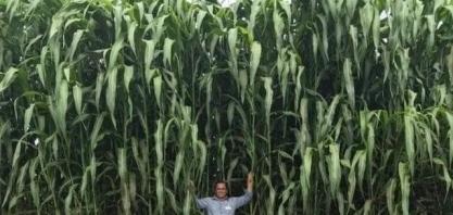 Sorgo gigante boliviano pode dobrar sua área cultivada até 2021 no Brasil