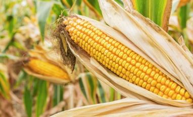 Indústrias de etanol acirram disputam pelo milho mato-grossense
