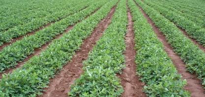 Dia de campo capacita produtores em produção integrada de amendoim