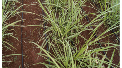 Irrigação complementar ou suplementar da cana-de-açúcar