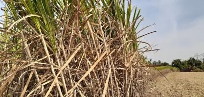 Plantadores de cana-de-açúcar de São Cristóvão podem se inscrever para o Programa Mão Amiga