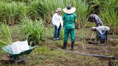 Variedade de cana produz biopesticida natural contra a principal praga da cultura