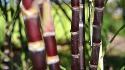 Gerar energia pelo bagaço de cana de açúcar: seria o futuro?