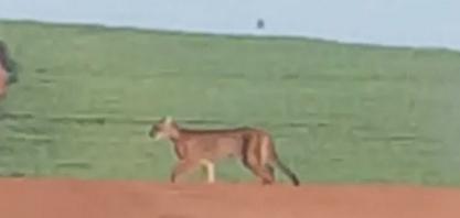 Onças pardas são vistas em canavial que fica em distrito de Maringá; VÍDEO