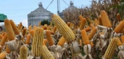 Início da colheita de milho confirma recorde de 250,5 milhões de t na produção total de grãos