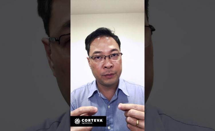 Corteva lança o inseticida Revolux para o controle da broca-da-cana
